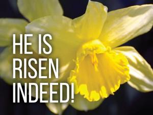 daffodil_13539ac